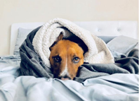 Canine Influenza in Dogs