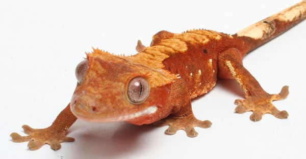 Crested Gecko: Taking Care of Cresties